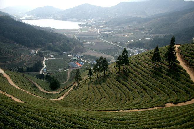 Boseong Green Tea Field Daehan Dawon, Boseong-gun, South Korea