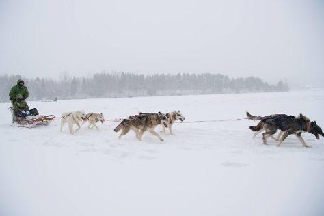 Spruce Island Husky, Granon, Sweden