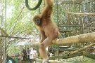 The Gibbon Rehabilitation Project (GRP)
