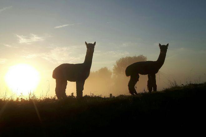 Alpaca farm River Forelands, Wamel, The Netherlands