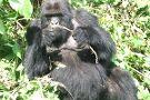 Safari 2 Gorilla Tours