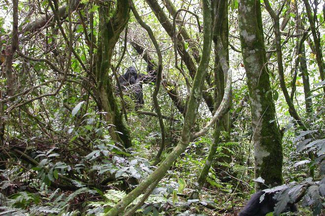 Bwindi Impenetrable Forest, Western Region, Uganda