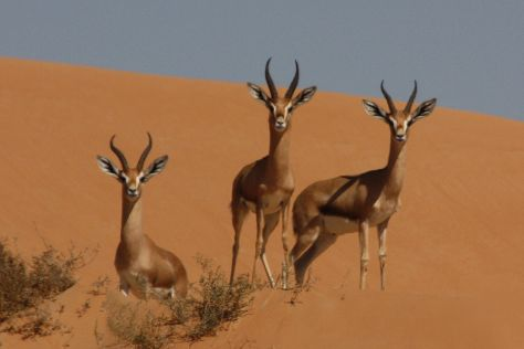 Dubai Desert Conservation Reserve, Emirate of Dubai, United Arab Emirates