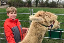 Cary Alpacas, Yeovil, United Kingdom