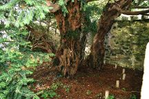 Fortingall Yew, Fortingall, United Kingdom