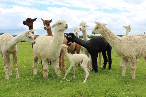 Cary Alpacas, Yeovil, United Kingdom