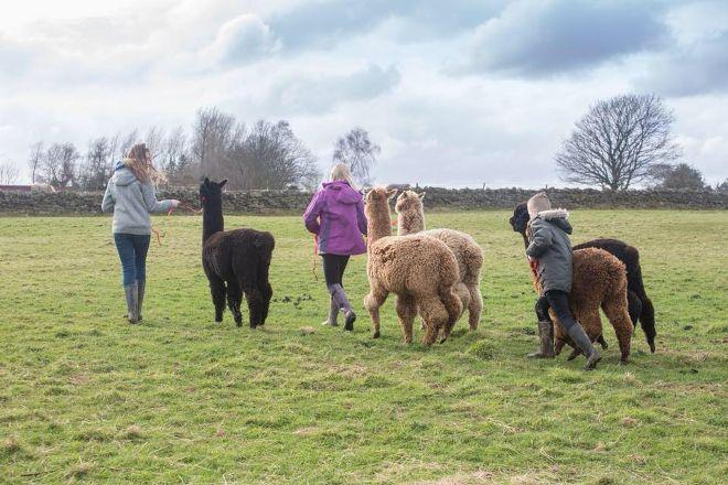 Alpaca Encounters, Hexham, United Kingdom