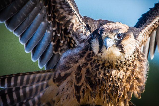 Falconry Southeast, Birchington, United Kingdom