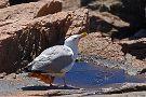 Acadia's Birds