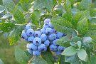 Captain Blueberry