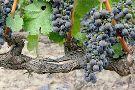 Caymus Vineyards