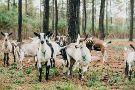 Celebrity Goat Dairy