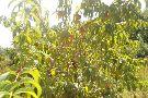 Corey Lake Orchards