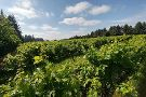 Forest Edge Vineyard