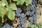 Grape Vine Springs Winery