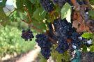 Napa Valley Excursions & Wine Tours