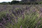 Purple Adobe Lavender Farm