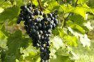 Serenberry Vineyards