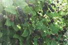 South Barlow Berries