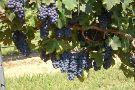 StableRidge Vineyards