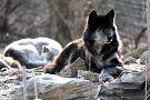 Wolf Sanctuary of PA