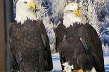 American Bald Eagle Foundation, Haines, United States