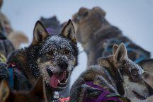 Black Spruce Dog Sledding