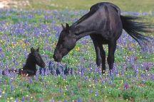 Pryor Mountain Wild Horse Range, Montana, United States