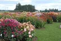 Swan Island Dahlias, Canby, United States