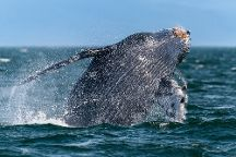 Weather Permitting Alaska - Whale Watching