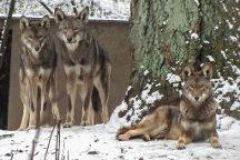 Wolf Haven International, Tenino, United States