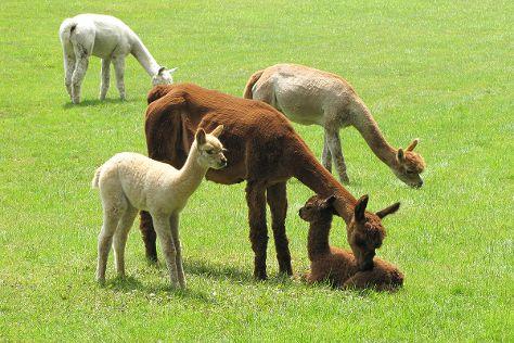 Harvard Alpaca Ranch, Harvard, United States