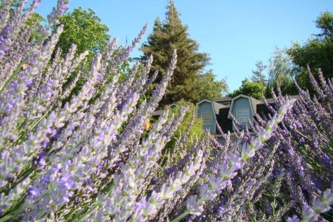 Lavender Hollow Farm, Escalon, United States