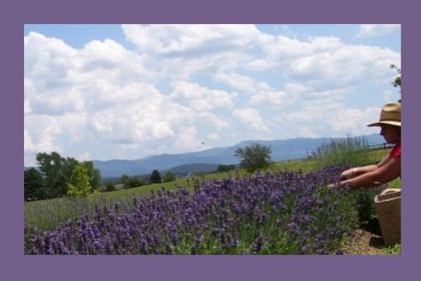 White Oak Lavender Farm & The Purple WOLF Vineyard, Harrisonburg, United States