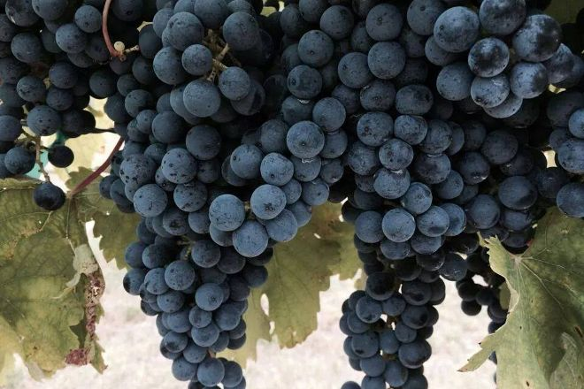 3 P's in a Vine Winery and Vineyard, Athens, United States