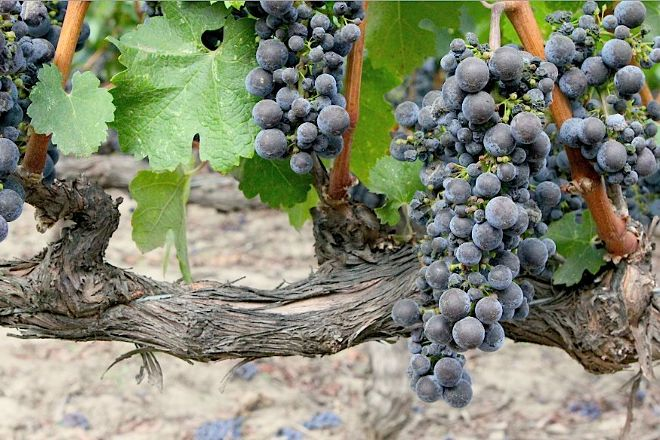 Caymus Vineyards, Rutherford, United States