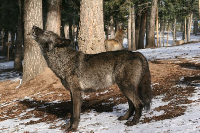 Colorado Wolf and Wildlife Center, Divide, United States