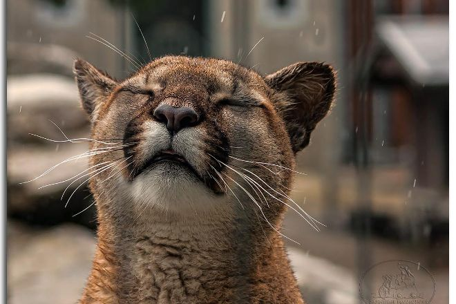 Cougar Mountain Zoo, Issaquah, United States