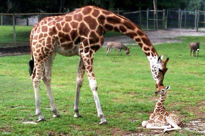 Giraffe Ranch, Dade City, United States