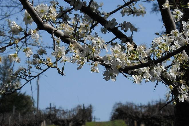 Husch Vineyards, Philo, United States