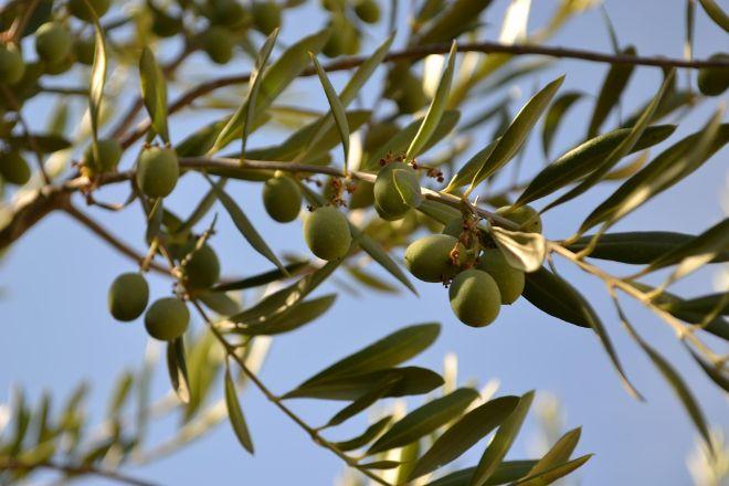 Olea Farm Olive Oil & Tasting Room, Templeton, United States