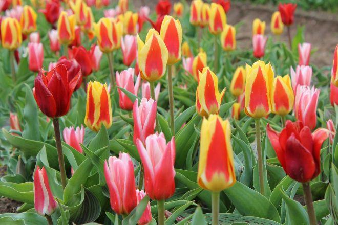 Veldheer Tulip Garden, Holland, United States