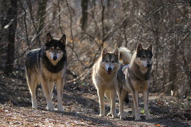 Wolf Sanctuary of PA, Lititz, United States