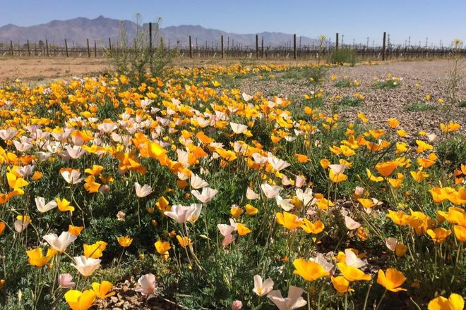 Zarpara Vineyard, Willcox, United States