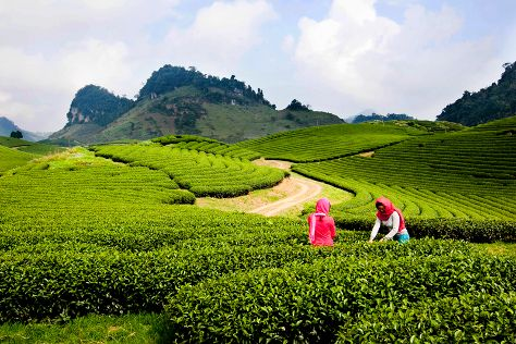 Moc Chau Tea Plantation, Moc Chau, Vietnam